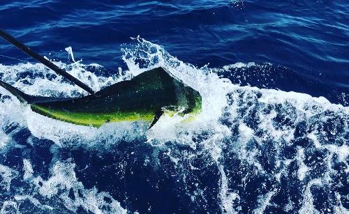 hooked fish in costa rica, los suenos