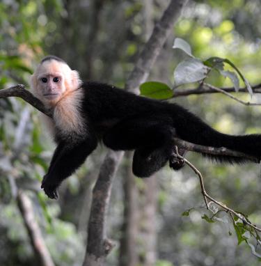 Monkey in Manuel Antonio Park
