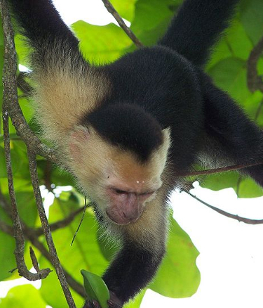 monkey in forest in costa rica