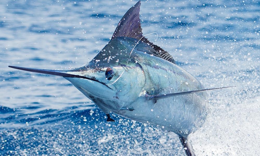 July Brings Marlin and Wahoo out to Play as Sailfish Sightings Continue