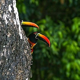 What You See in the Rainforest:  Toucans of Costa Rica
