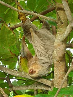 sloth in a tree in Manuel Antonio Park in Costa Rica