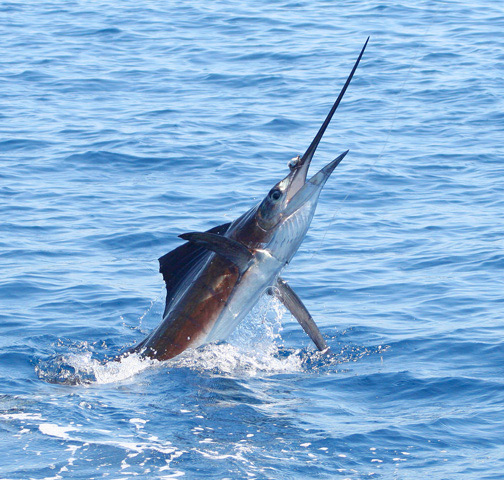 Full moon's gone: back to solid Costa Rica fishing!