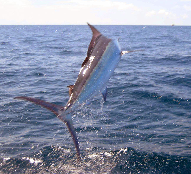 Peak sailfish season finally arrived.