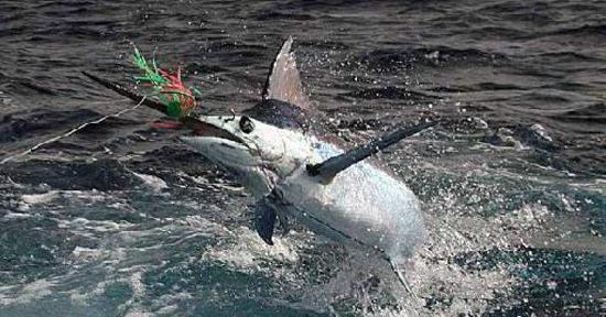 Sailfish, Marlin and Tasty Table Fish During Dry Season