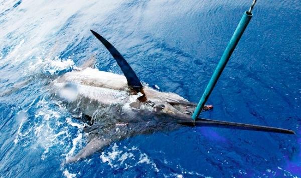 Blue Marlin at Los Suenos