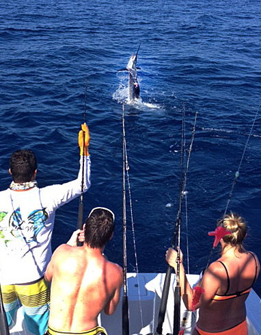 Sailfish Bite Rages On