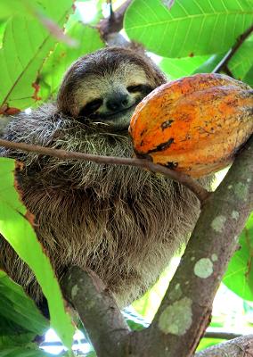 Cute Sloth in Costa Rica