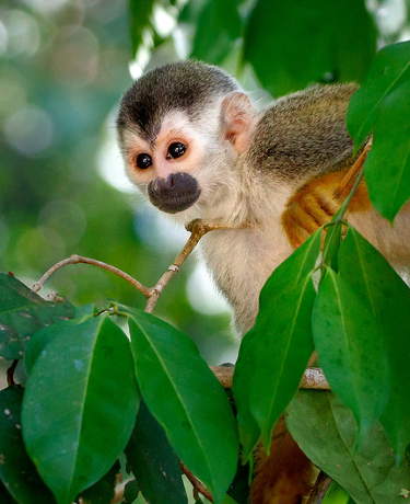 Beautiful Squirell Monkey in Costa Rica