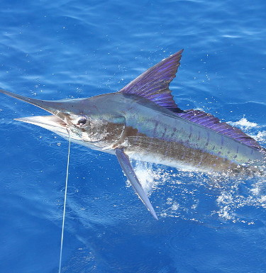 Striped Marlin Caught in Ocean in Costa Rica