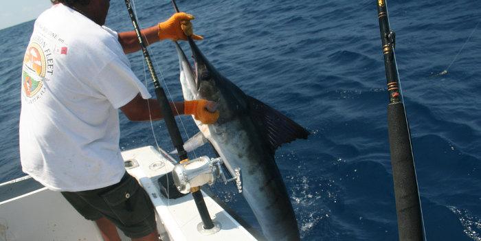 Yellowfin, Dorado and Marlin Going Strong