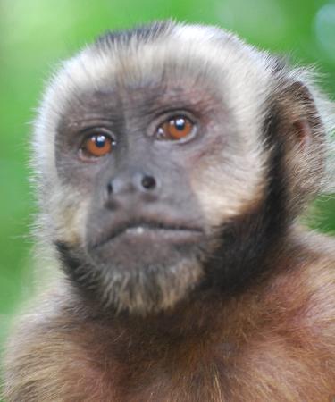 Cute White Faced Monkey
