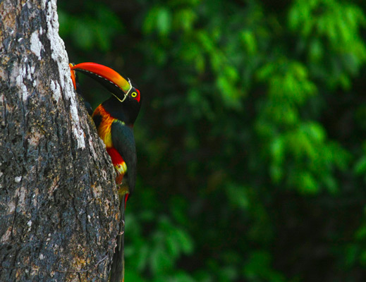 Tucans on a tree