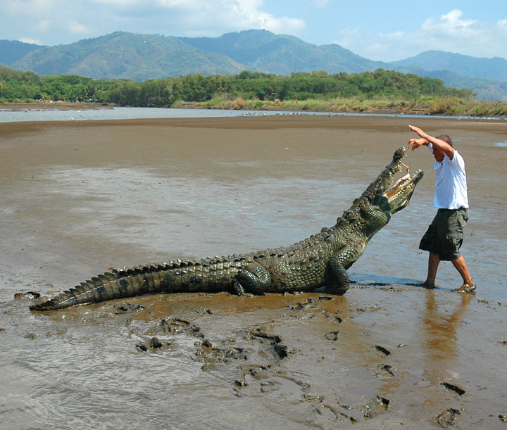 Man Feeding a Crocodile