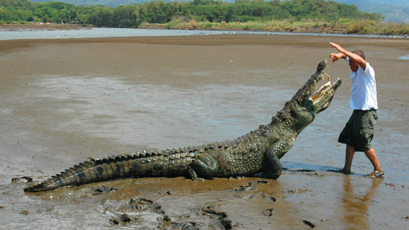 Crocodile Mangrove Tour
