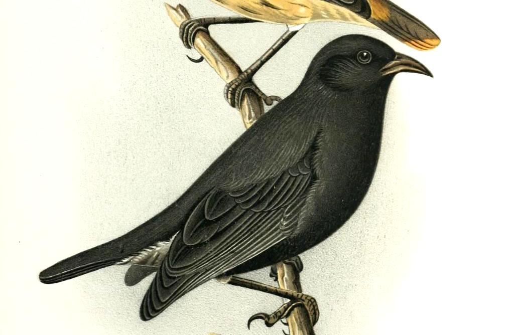 Cocos Finch