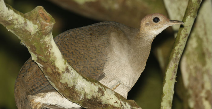 The Great Tinamou