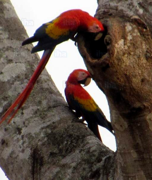 Scarlet Macaws in Carara Park