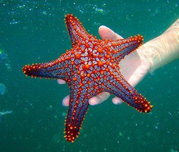 Tortuga Island starfish